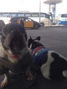 mibulldogfrances-viaje-avion2